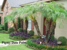 A large container with a specimen Pygmy Date Palm, Phoenix roebelenii surrounded by Plectranthus, Coleus (Solenostemon) and Ipomoea Black Heart' | Pinterest ...