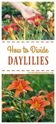 How to divide and transplant daylilies or prune and cut them back, Complete guide to digging up daylilies and moving them to a new location. - Home Garden Gardening For Beginners, Gardening Tips, Container Gardening, Kitchen Gardening, Fairy Gardening, Vegetable Gardening, Planting Seeds, Planting Flowers, Garden Pests