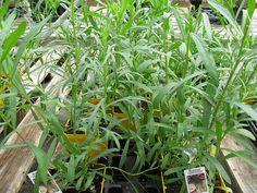 Bylica estragon – właściwości lecznicze, zastosowanie, wpływ na zdrowie Bernaise, Comment Planter, Culture, Plantation, Kraut, Inspiration, Cholesterol Levels, Chili Powder, Vegetable Garden