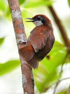 Foto mãe-de-taoca-bochechuda (Gymnopithys leucaspis) por Robson Czaban | Wiki Aves - A Enciclopédia das Aves do Brasil