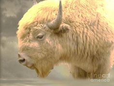 of the White Buffalo White Buffalo, American Indians predicted white Buffalo one was born in Wisc. named Miracle.White Buffalo, American Indians predicted white Buffalo one was born in Wisc. named Miracle. Native American History, Native American Indians, Native Americans, Native Indian, American Symbols, Indian Tribes, Rare Animals, Animals And Pets, Wild Animals