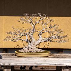 Koryo Japanese maple Shishigashira 120 years old Bonsai Forest, Bonsai Garden, Bonsai Styles, Old Trees, Japanese Maple, Ficus, Ikebana, Permaculture, Landscape
