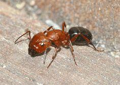 carpenter ants - Google Search