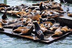 Sea Lions @ Pier 39, San Francisco, California, USA