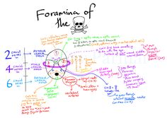 The skull has numerous holes (foramina) through which various cranial nerves, arteries, veins and other structures pass. To aid learning of these important foramina, I have created this visual mnemonic.