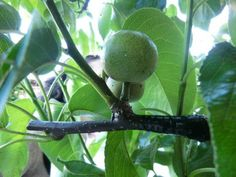 The Guerrilla Grafting Movement - Secretly Grafting Fruit-Bearing Branches Onto Ornamental City Trees