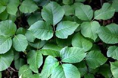 Poison Ivy, Oak & Sumac Reactions | Children's Hospital Colorado