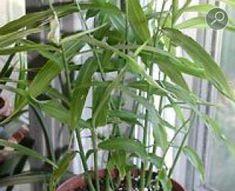Τζίντζερ σε γλάστρα Small Gardens, Potted Plants, Home And Garden, Nature, Gardening, Decoration, Bags, Beauty, Gardens