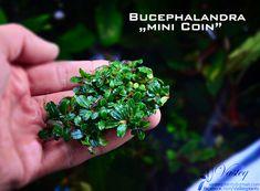 "Bucephalandra ""mini coin"""