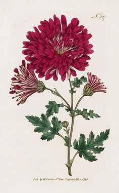 Illustration of Chrysanthemum Indicum (Chrysanthemum morifolium), published in Curtis's Botanical Magazine in Date 1796 I love Mums! Vintage Botanical Prints, Botanical Drawings, Antique Prints, Vintage Botanical Illustration, Art Floral, Illustration Botanique, Illustration Blume, Botanical Flowers, Botanical Art
