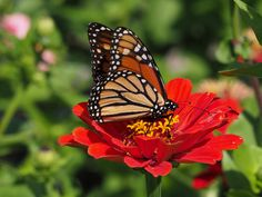 All of the zinnias will provide a nectar source for butterflies such as the swallowtails and monarchs in Central Texas landscapes.  The goldfinches, doves, cardinals and other seed-eating birds will appreciate the food source, and the naturalized plants will provide nectar for the butterflies.  A few plants work well but a plot of 8 feet by 16 feet or larger will really bring in the butterfly species and the individuals.  The stems have small lengths of brightly colored blooms that are a…