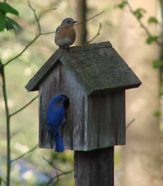 How to attract Bluebirds to your yard. Love the birds.we have many cardinals & other birds. Love Birds, Beautiful Birds, How To Attract Birds, Bird Cages, Bird Feeder, Backyard Birds, Bird Watching, Yard Art, Bird Feathers