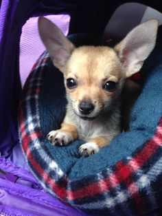 Honey!!!! Chihuahua Terrier Dog Photography Puppy Hounds Chiens Puppies