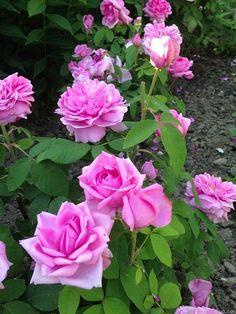 'Comte de Chambord ' Rose Photo