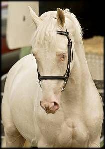 Sporthorse Stallion