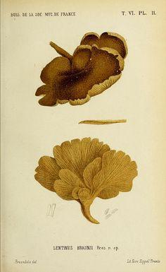 Bulletin de la Société mycologique de France. Epinal :La Société,1885-1903.. biodiversitylibrary.org/page/43578177