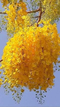 Clump of Mimosa flowers on beautiful tree. Unusual Flowers, Amazing Flowers, Beautiful Roses, Pretty Flowers, Yellow Flowers, Beautiful Gardens, Yellow Tree, Beautiful Flowers Wallpapers, Beautiful Nature Wallpaper