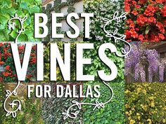 Plants for Dallas - Your Source for the Best Landscape Plant Information for the Dallas-Ft. Worth MetroplexBest Vines for Dallas, Texas — Wall Climbing Plants, Climbing Vines, Small Yard Landscaping, Landscaping Plants, Landscaping Ideas, Lady Banks Rose, Vine Fence, Fast Growing Vines, Evergreen Vines