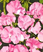 Royal Family Rose Pink (Sweet Pea) - 1680F | Stokes Seeds 1 packet