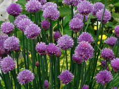 Schaduwplant Bieslook