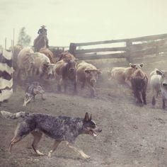 On the job.  Blue heeler, Australian cattle dog.