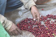 Hands on coffee. The hands that work on the coffee, are the hands that make it work. Jayaque, La Libertad, El Salvador.