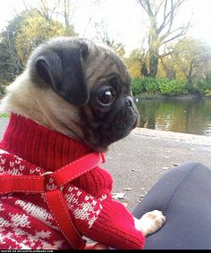 Pug Puppy In A Sweater ::: Visit our poster store https://Rover99.com