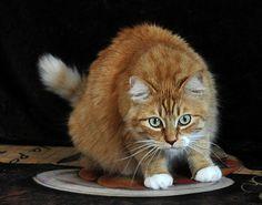 Wild Cat Photo, Attack Cat, Orange Cat, Long Haired Cat, Wall decor, Home decor, Cat Lover Gift, Cat Art, Nature Photo, Cat Attack #wildcat