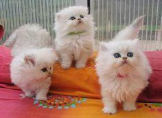 Adorables bébés Persan-Chinchilla