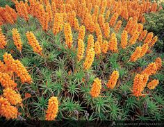 Flowering Richea Scoparia   Rob Blakers Photography