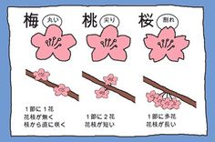 [SAKURA] How to tell the difference between a Cherry Blossom, a Plum Blossom, and a Peach Flower Peach Flowers, Peach Blossoms, Japanese Culture, Japanese Art, Japanese Flowers, Interesting Information, Flower Center, Nursery Themes, Trivia