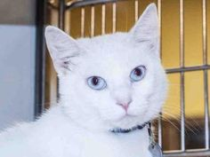 Check out Elsa's profile on AllPaws.com and help her get adopted! Elsa is an adorable Cat that needs a new home. https://www.allpaws.com/adopt-a-cat/siamese/6478634?social_ref=pinterest