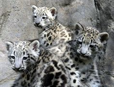 """The three Snow Leopard cubs, born March 5 at the Akron Zoo, made their first public appearance on June 3, 2016. The cubs were also recently allowed to pick their own names! The two males are now named: Layan, (short for Himalayan Mountains), and Altai (named after the Altai Mountains). Snow Leopards are indigenous to both mountain ranges. The female cub is named Asha, which means """"Hope"""" in Sanskrit. Learn more and see more on ZooBorns…"""