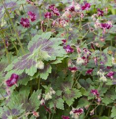 Geranium phaeum var. phaeum 'Samobor' - lovely foliage, easy to grow, nice cut flower Divided 5/2013