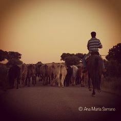 De vuelta #dehesa #campo #ganaderia #campocharro