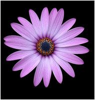 Explore the Flower Tattoo collection - the favourite images chosen by rockingmarauder on DeviantArt. Aster Tattoo, Aster Flower Tattoos, Flower Tattoo Arm, Flower Tattoo Designs, Body Art Tattoos, New Tattoos, Sleeve Tattoos, Cool Tattoos, Tatoos