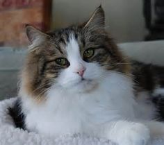 siberian cat - - Yahoo Image Search Results