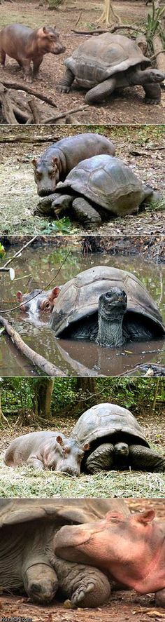 """Owen a baby hippopotamus got swept away by a tsunami on the coast of Kenya. After being rescued the hippo became unlikely friends with a century old giant tortoise... """"The hippo is a young baby, he was left at a very tender age and, by nature, hippos are social animals that like to stay with their mothers for four years."""" - Ecologist Paula Kahumbu"""