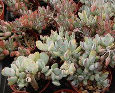 Succulent | 福娘系 Cotyledon orbiculatavar