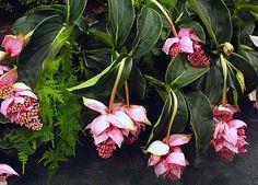 Medinilla myriantha Malaysian Orchid 25 seeds by SmartSeeds