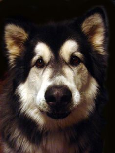 Photo: Alskan Malamute #dog #animal #airedale #terrier