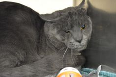 **AVAILABLE FOR ADOPTION!!!** Brent, Grey male, 2 years old. He's come out of his shell quite a bit since he came to us.