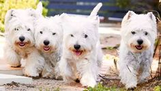 Westie West Highland White Terriers Dogs