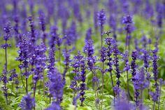 Šalvěj lékařská (Salvia officinalis) Čeleď: Hluchavkovité (Lamiaceae)