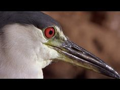 Hungry Hank is one cool feathery customer. Outmuscled by the resort Swans, this plucky Night Heron has got his eyes on a much bigger prize, but it might invo. Sand Martin, Bbc, Behaviour Display, Laughing Squid, Cute Baby Animals, Smart Animals, Endangered Species, Heron, Ecology