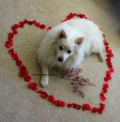 Valentine's Samoyed