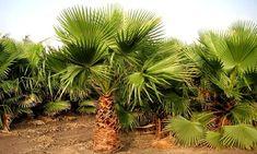 Ce palmier Mexican Fan donne à chaque jardin, balcon ou patio une touche exotique