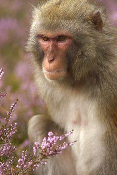 Rhesus macaque (Macaca mulatta) by saxman1597