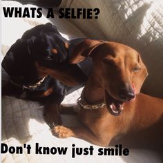 Doxie Humour - Ruby & Meg Miniature short hair Dachshunds from NSW Australia