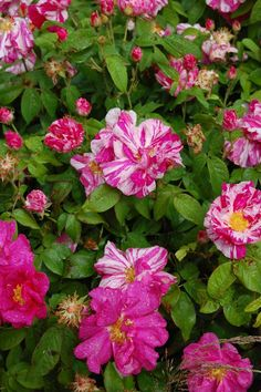 Rosa gallica officinalis AKA 'Apothecary's Rose' (unknown origins, before 1240)